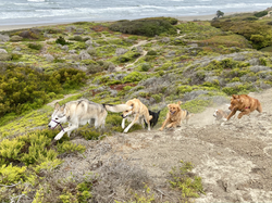 San Francisco Dog Walks