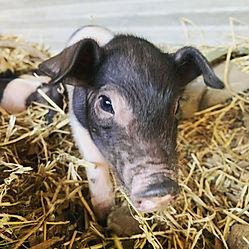 Piglets on the Davis Farm.jpg