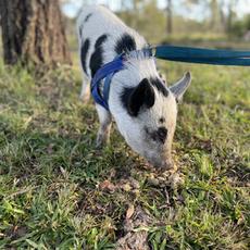 Molly mini pig