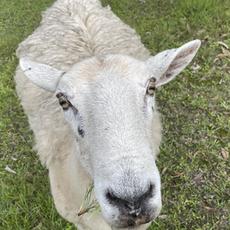 Dotty the Sheep