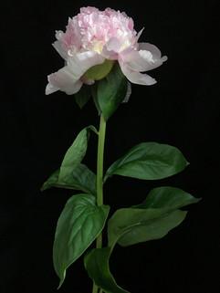 BF: Pink Peony No. 4