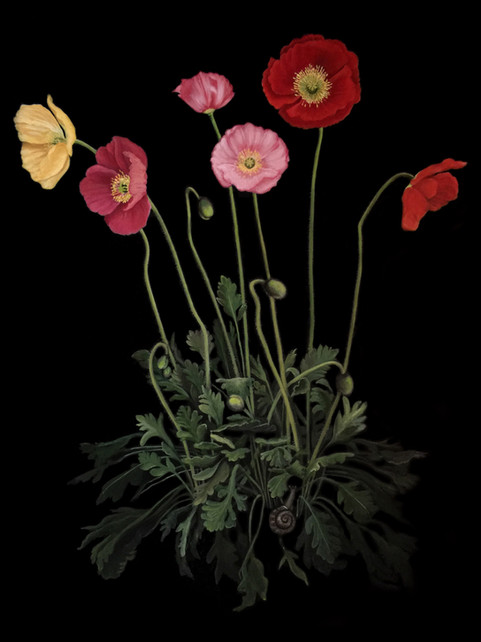 Icelandic Poppies with Snail