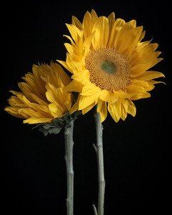 BF: Two Sunflowers