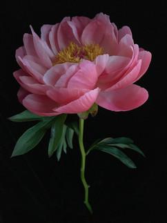 BF: Fuchsia Pink Peony No. 1
