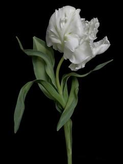 BF: White Parrot Tulip