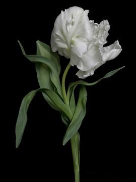 BF_white_parrot_tulip_01.jpg