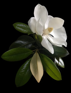 BF: Magnolia No. 3