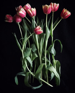 BF: Bunch of Red and Yellow Tulips No. 1