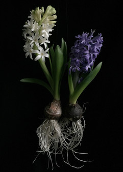BF: Two Hyacinths with Roots No. 1