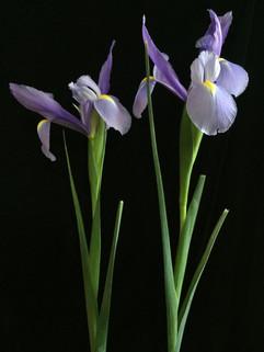 BF: Two Irises