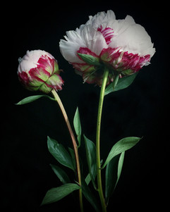 BF: Two Red and White Peonies No. 2