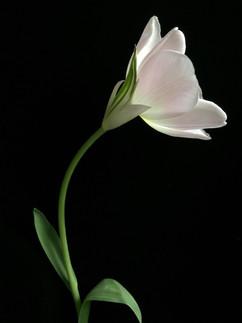 BF: Pink Tulip No. 1