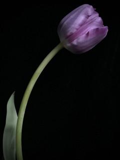 BF: Purple Tulip