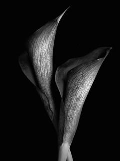 BF: Two Black and White Calla Lillies No.1