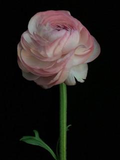 BF: Lisa's Pink Ranunculus