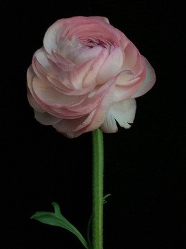 BF_pink_ranunculus_01.jpg
