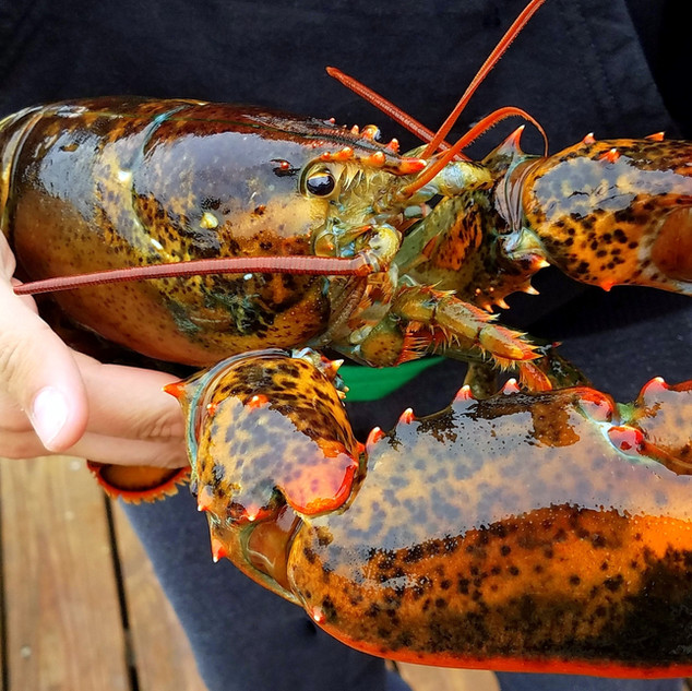 Maine fresh caught lobster displayed out