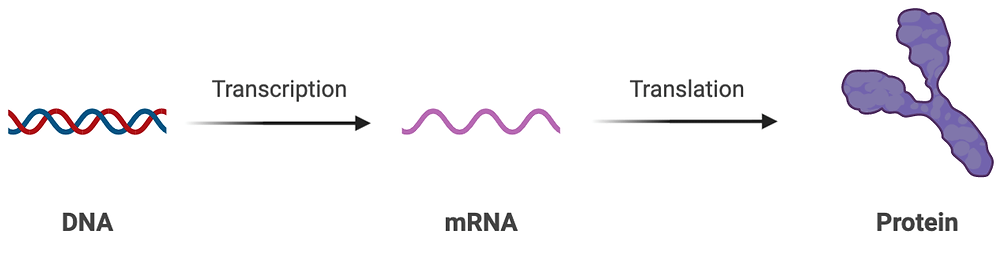 DNA transcribed to produce mRNA_Amory Medical