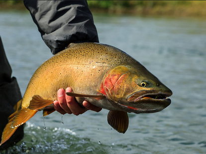 Yellowstone Cutthroat Trout Management on the South Fork Snake River