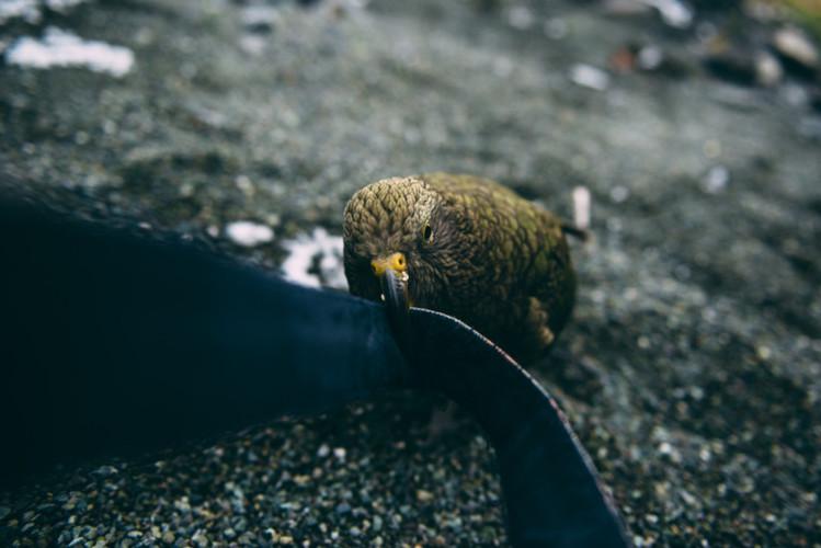 Tug of War Kea by Lola Photography-824x