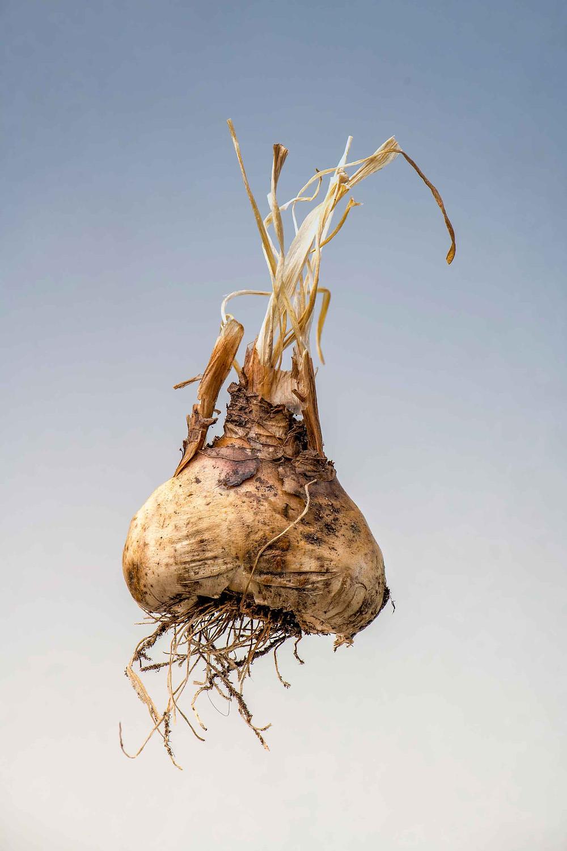 Flower Bulb by Harry Janssen