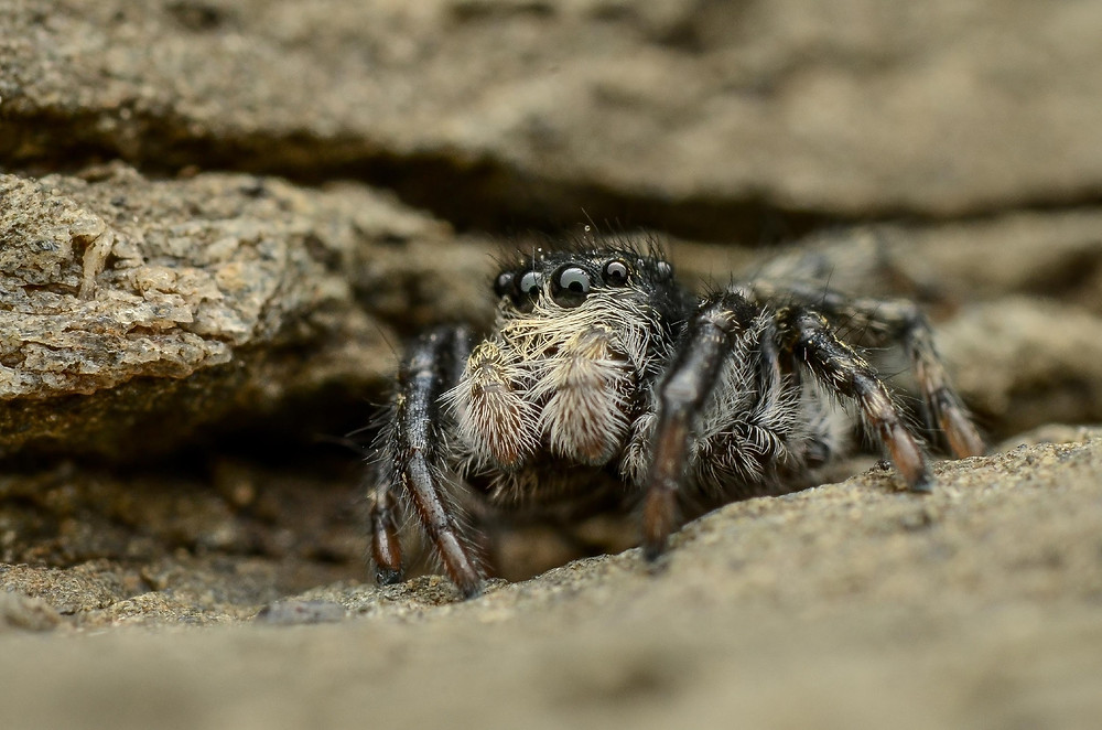 Jumping Spider Image by Murray McCulloch