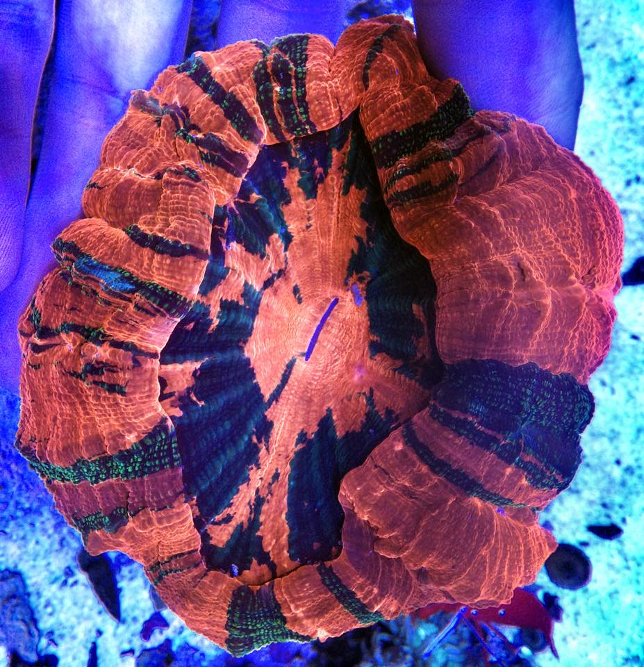 Blood Meat Coral