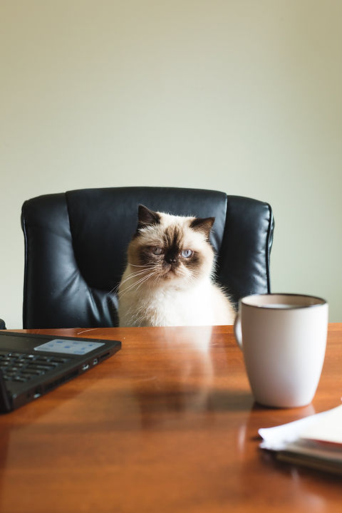 a-blue-point-himalayan-sits-at-a-desk.jp