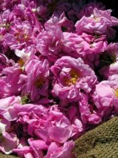 roses of Grasse