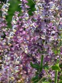 clary sage blossoms