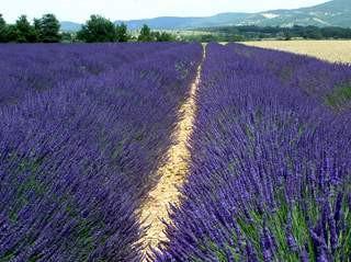 purplesplendour