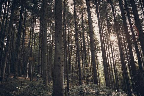 Bosque coníferas mejorando huella CO2