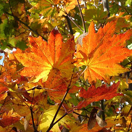 Vine maple in autumn.jpg