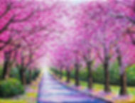 Path of Cherry Blossoms 16x12 2019 Outdo