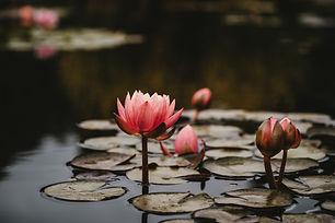 lotus image by xuan-nguyen-716289-unspla