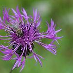 Centaurea_scabiosa_Guevaux_12.jpg
