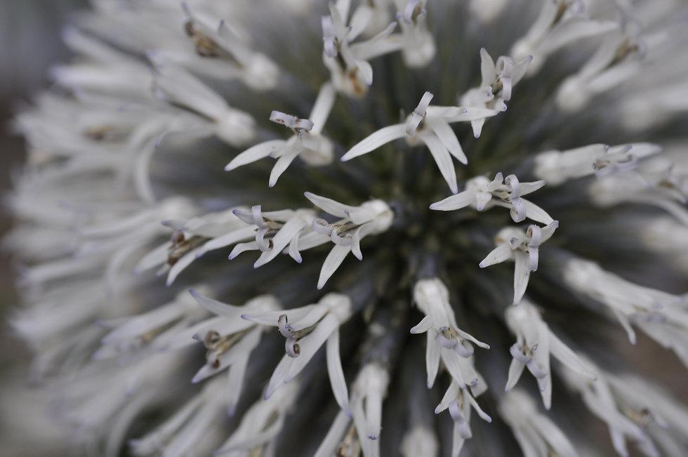 Echinops_sphaerocephalus_Bern6.jpg