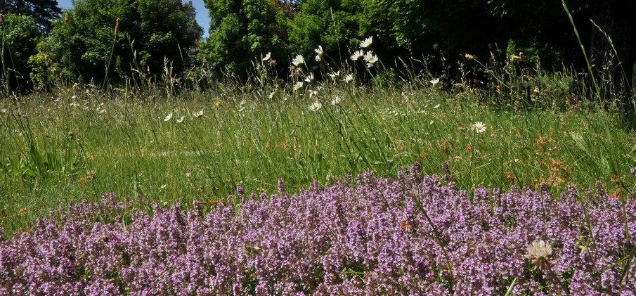 Artenreicher Rasen mit Arznei-Thymian, Bremgartenfriedhof Bern © Wolfgang Bischoff