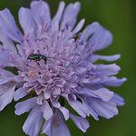Knautia_arvensis_Bern.jpg