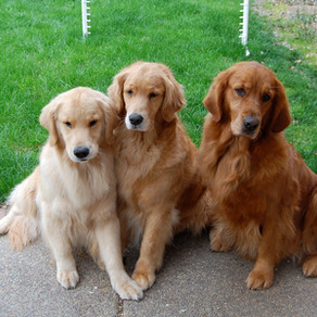 5 Facts you Didn't Know about Golden Retrievers