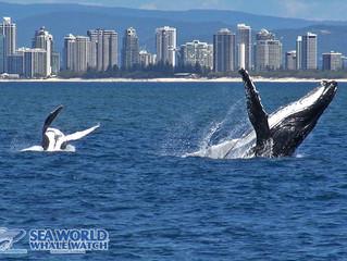 Whale Watching - Full Breach Ahead!