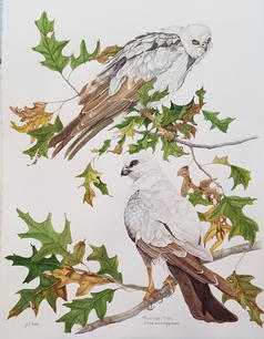 Janice Dean.  Mississippi Kites. watercolor, ink. 30x40 in. $2000.jpeg