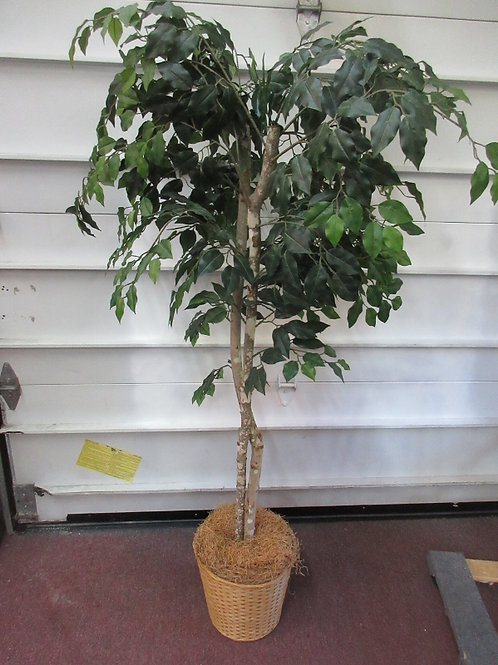 Double bark ficus tree in basket, green leaves