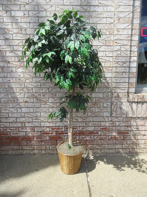 Ficus tree in wicker planter 5ft high