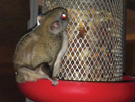 Flying Squirrel Spotted In Vermilion