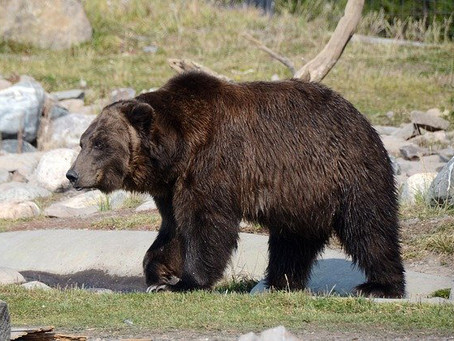 Pawsitive News About Grizzly Bear Populations