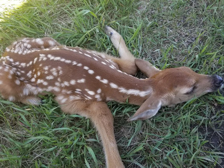 Newborn Fawn Found And Nursed To Health
