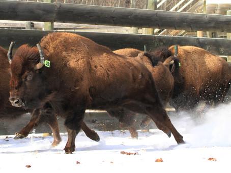 Wild Bison Released Into Banff National Park
