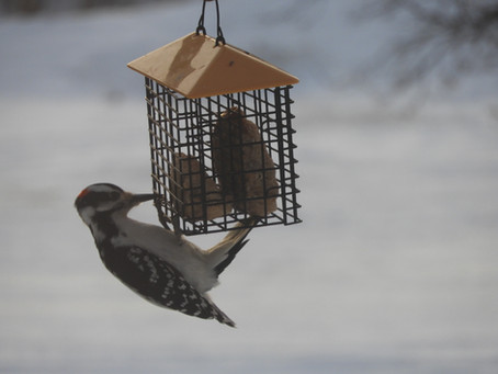 The Vermilion River Naturalist Society Holds Christmas Bird Count