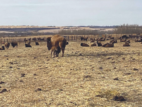 Lakeland College Welcomes New Bison Calf